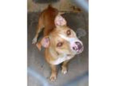 Adopt Willa a Red/Golden/Orange/Chestnut - with White Labrador Retriever /