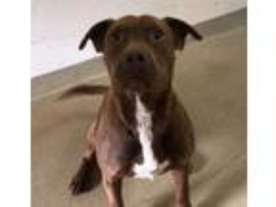Adopt Spanky a Pit Bull Terrier, Mixed Breed