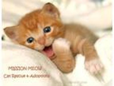 Adopt MANY KITTENS COMING SOON a Brown Tabby Domestic Shorthair (short coat) cat
