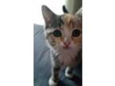 Adopt Funsize a White Domestic Shorthair / Domestic Shorthair / Mixed cat in