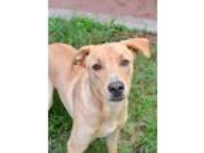 Adopt Kit a Red/Golden/Orange/Chestnut Labrador Retriever dog in Laredo