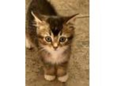 Adopt Bobby Brown a Brown Tabby Domestic Shorthair (short coat) cat in Chicago