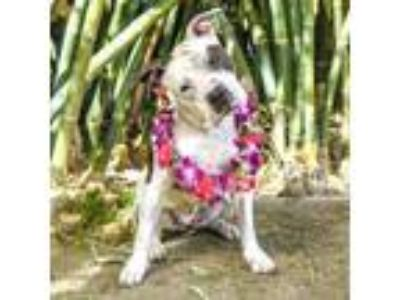 Adopt Athena a White American Staffordshire Terrier / Mixed dog in Palm Springs