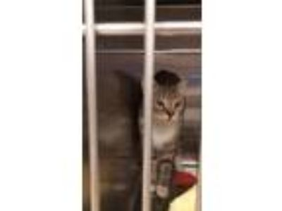 Adopt Daisy a Domestic Short Hair