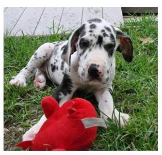 Akc Reg!!!! Great Dane Puppies For Sale
