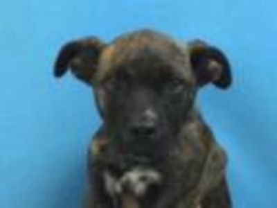 Adopt Sparticus a Brown/Chocolate Terrier (Unknown Type, Small) / Mixed dog in