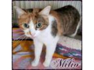 Adopt Milio a Calico / Mixed (short coat) cat in Lagrange, IN (17592693)