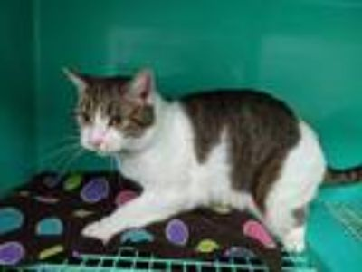 Adopt Harley a White (Mostly) American Shorthair (short coat) cat in California