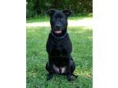 Adopt Riley a Black Labrador Retriever / Mixed dog in Waldorf, MD (25850518)