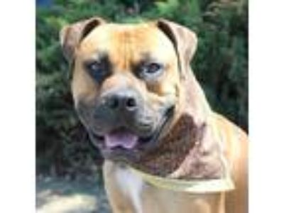 Adopt Brutus a Tan/Yellow/Fawn Boxer / Mixed dog in Chico, CA (25926237)