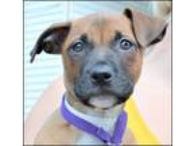 Adopt Caleesi Puppy - Available July 14th a Boxer, Pit Bull Terrier