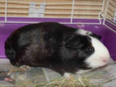 Adopt PEPPERMINT a Black Guinea Pig / Mixed small animal in Westminster