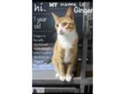 Adopt Ginger a Extra-Toes Cat / Hemingway Polydactyl, Domestic Short Hair