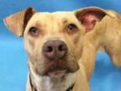 Adopt Genevieve a Pit Bull Terrier, Mixed Breed