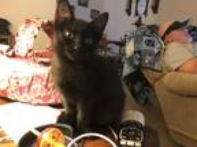 Adopt Raven a Black (Mostly) Domestic Shorthair (short coat) cat in High Point