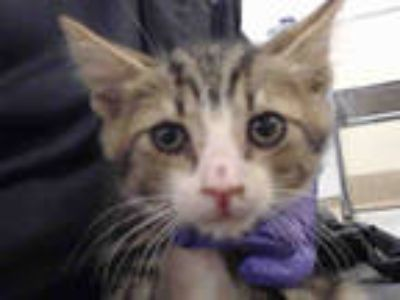 Adopt DEWY a Brown Tabby Domestic Shorthair / Mixed (short coat) cat in Doral