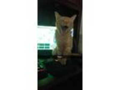 Adopt Simba a Orange or Red American Bobtail / Mixed cat in Fort Pierce