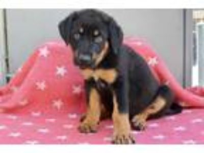 Adopt Freud a Black - with Brown, Red, Golden, Orange or Chestnut Rottweiler /