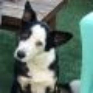 Muneca Border Collie Dog