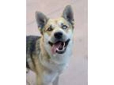 Adopt Calvin a German Shepherd Dog / Husky / Mixed dog in Downey, CA (19606156)