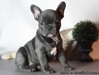 Magnificent Blue French Bulldog Puppies Available