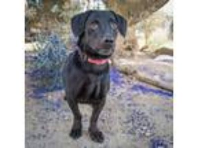 Adopt Zoro/Hamilton a Black Labrador Retriever / Dachshund / Mixed dog in Palm