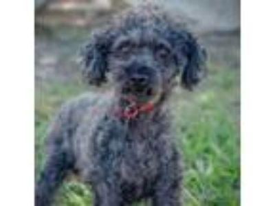 Adopt Cain a Poodle, Mixed Breed