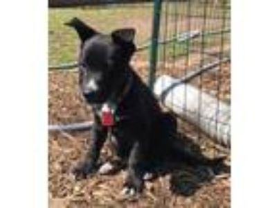 Adopt Igea Puppy a German Shepherd Dog, Labrador Retriever