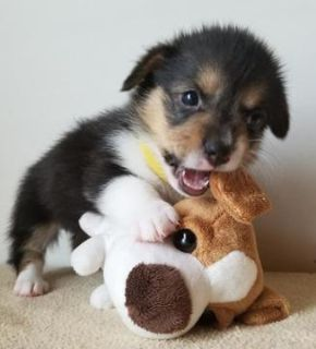 Pembroke Welsh Corgi PUPPY FOR SALE ADN-92791 - AKC Pembroke Welsh Corgi Pups