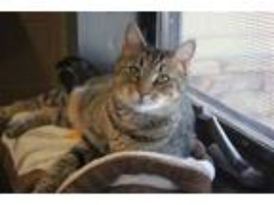 Adopt Twinkle a Domestic Short Hair, Tabby