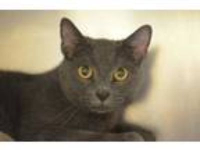 Adopt Romeo a Gray or Blue Domestic Shorthair / Domestic Shorthair / Mixed cat