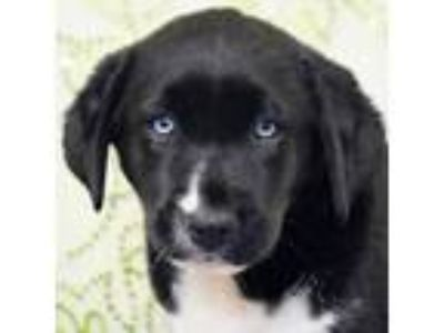 Adopt Nicolette a Black - with White Newfoundland / Husky / Mixed dog in