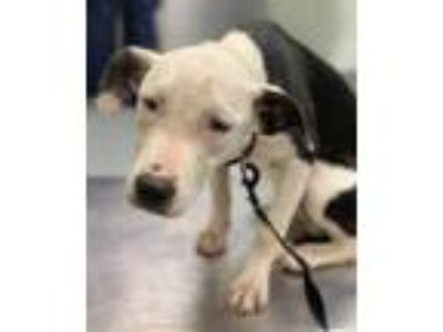 Adopt Karen a Black Border Collie / American Pit Bull Terrier / Mixed dog in