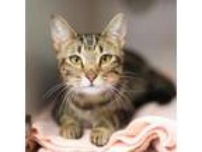 Adopt Wendy a Domestic Short Hair