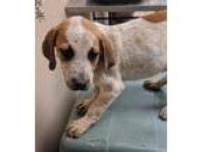 Adopt Boston a White Hound (Unknown Type) / Mixed dog in Quincy, IL (25343556)