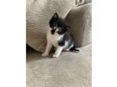Adopt Cloudy a Black & White or Tuxedo Domestic Shorthair (short coat) cat in