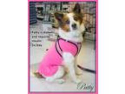 Adopt Patty a Papillon / Mixed dog in Oak Ridge, TN (21692036)