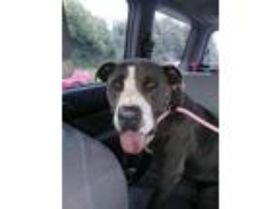 Adopt Handsome a Pit Bull Terrier