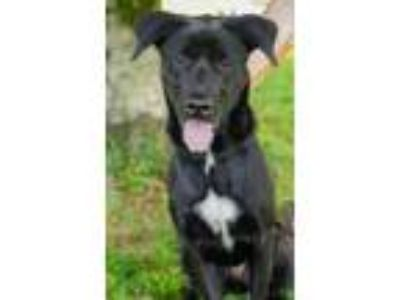 Adopt Piper a Labrador Retriever, Shepherd