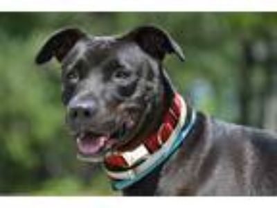 Adopt Maggie a Black Labrador Retriever / Mixed dog in Brookhaven, NY (17067452)