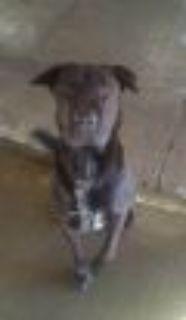 Bullet Black Labrador Retriever - Chow Chow Dog