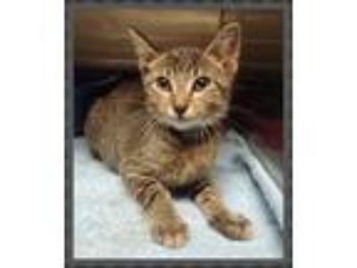 Adopt SPENCER (available 07/19) a Domestic Short Hair