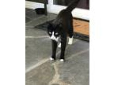 Adopt Jessie a Black & White or Tuxedo Domestic Shorthair / Mixed cat in
