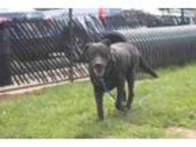 Adopt Midnight a Black American Pit Bull Terrier / Akita / Mixed dog in