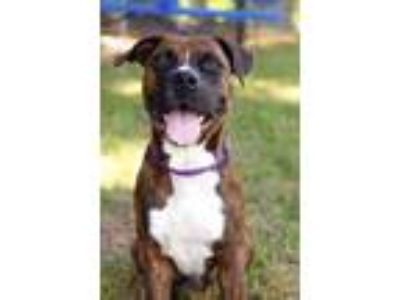 Adopt Jessup a Boxer / Mixed Breed (Medium) / Mixed dog in Fort Myers