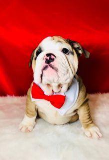 Bulldog PUPPY FOR SALE ADN-77600 - GORGEOUS ENGLISH BULLDOG MALE