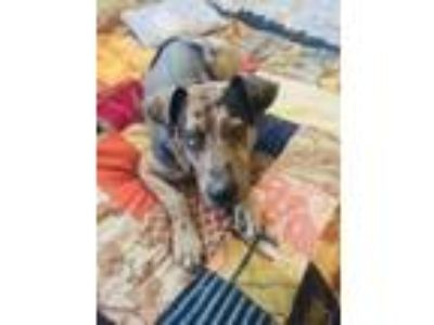 Adopt Domino a Brown/Chocolate - with White Catahoula Leopard Dog / Patterdale