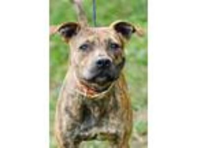 Adopt lady girl a Pit Bull Terrier