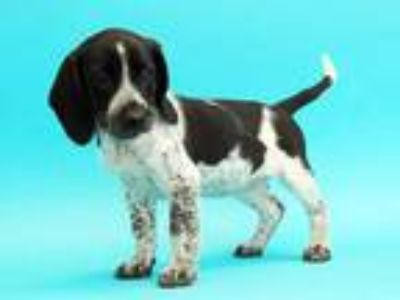 Adopt JANIE a Black - with White Beagle / Australian Cattle Dog / Mixed dog in