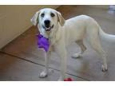 Adopt Bernice a White Great Pyrenees / Mixed dog in McKinney, TX (25927969)